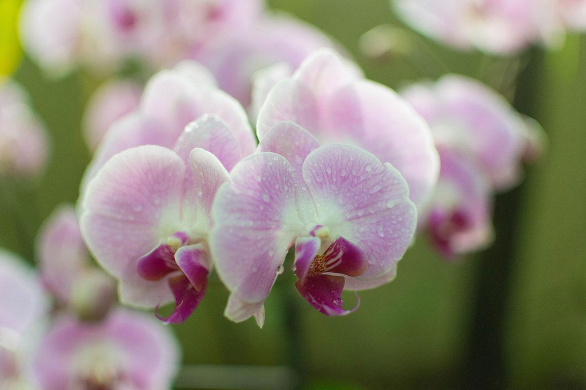 Mille et une Orchidées d'Asie